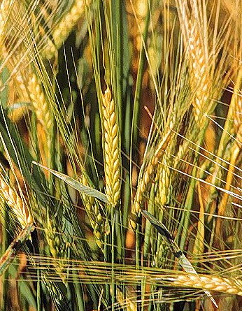 Birra agricola: maltare in azienda è una chimera?