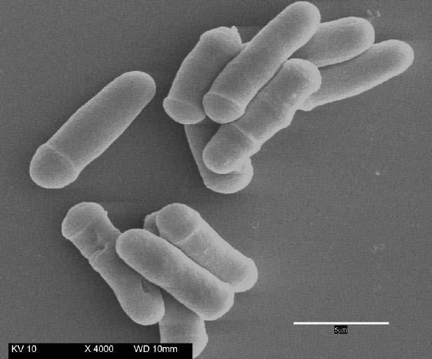 Schizosaccharomyces pombe: dall'Africa, un lievito proiettato al futuro!