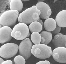 Lievito: approfondimento tecnico su ceppi e dinamiche di popolazione in fermentazione