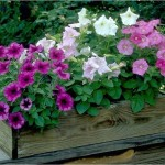 OGM: fiori che cambiano colore se annaffiati di birra