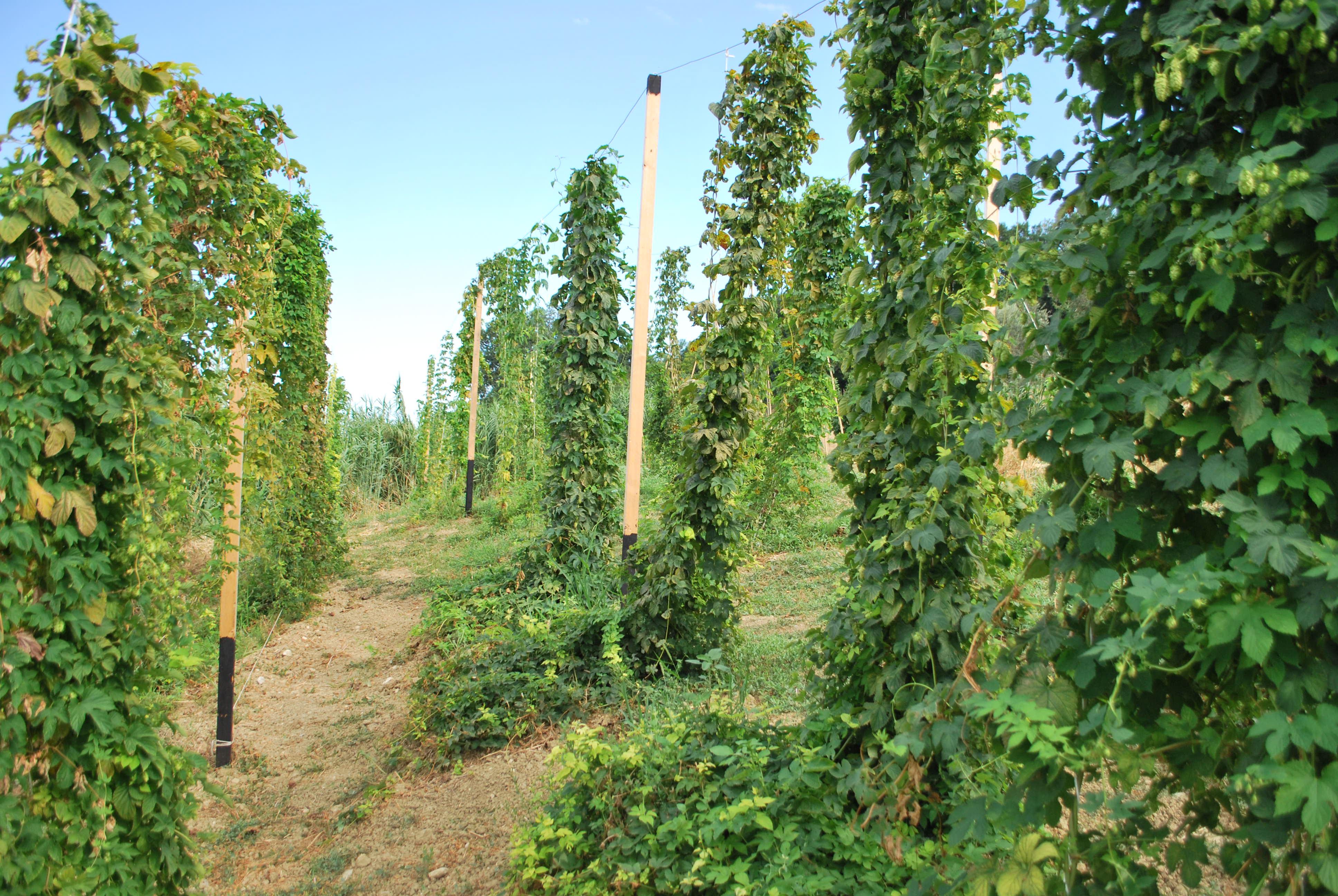 Le cure colturali per il luppolo: dalla potatura verde alla raccolta
