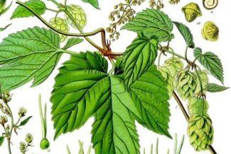 Curiosità sulle originini etimologiche e storiche della pianta lupo