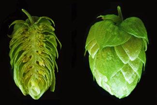 Pillole di luppolo: la cultivar Glacier