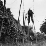 Luppolo: una essenza preziosa raccontata attraverso rare immagini storiche della raccolta