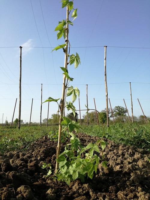 Propagazione del luppolo in Italia: il problema dei costi e della garanzia delle piante