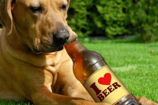 Luppolo e birra: pericolosi per i cani!