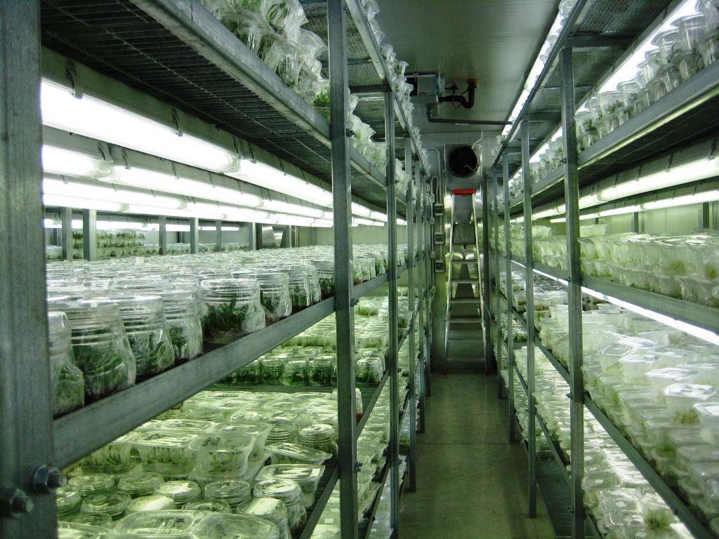 Micropropagazione del luppolo: una tecnica moderna ed efficace per piante sane!