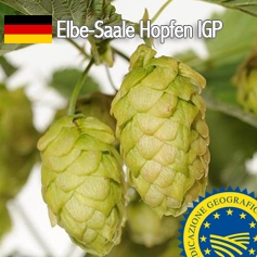 Elbe-Saale Hopfen: il luppolo IGP  Made in Germany