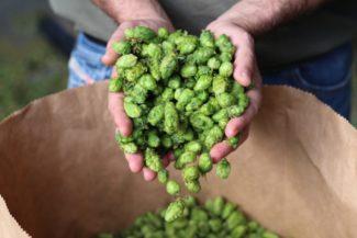 Northern brewer: un luppolo antico
