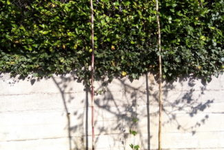 Coltivazione hobbistica del luppolo: alcuni consigli per la stagione vegetativa!